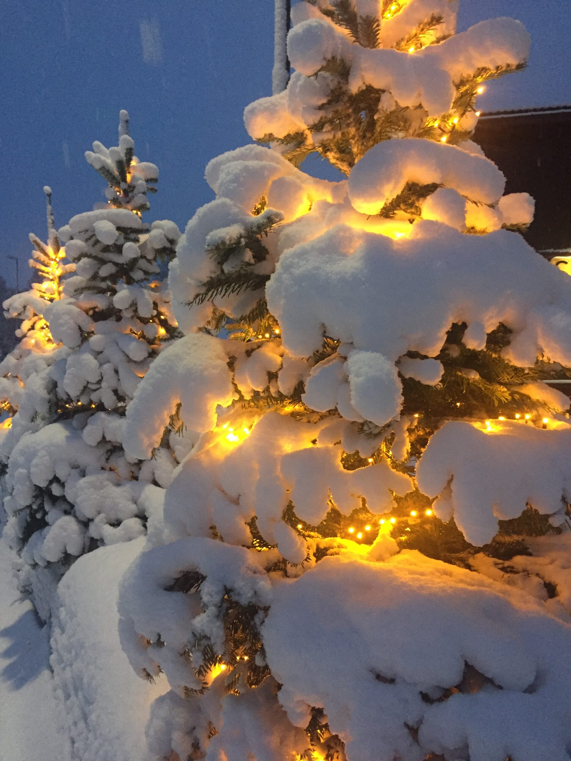 Snow-covered Christmas trees
